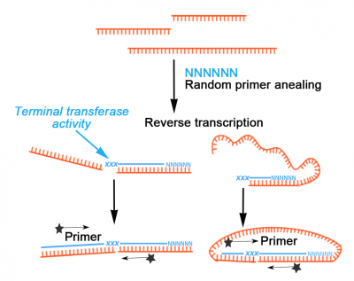"MMLV enzyme creating artificial junctions and ""circRNAs"""
