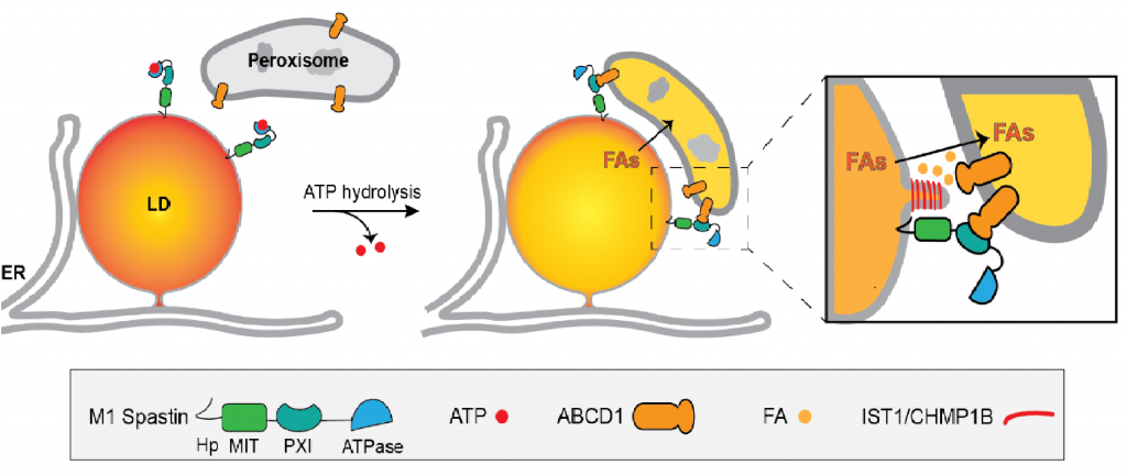 An Important Discovery Related To >> Spastin Tethers Lipid Droplets To Peroxisomes And Directs Fatty Acid