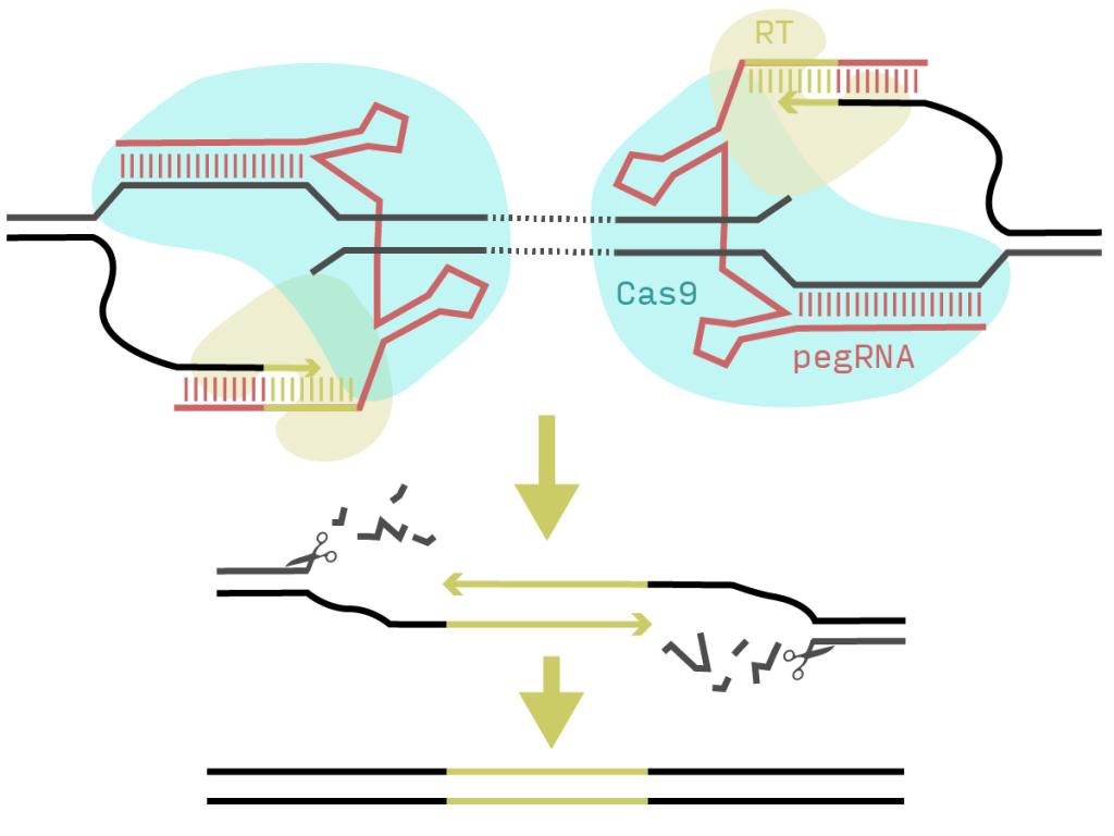 Schematic of PRIME-Del process